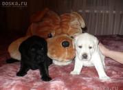 Продажа щенков лабрадора-ретривера